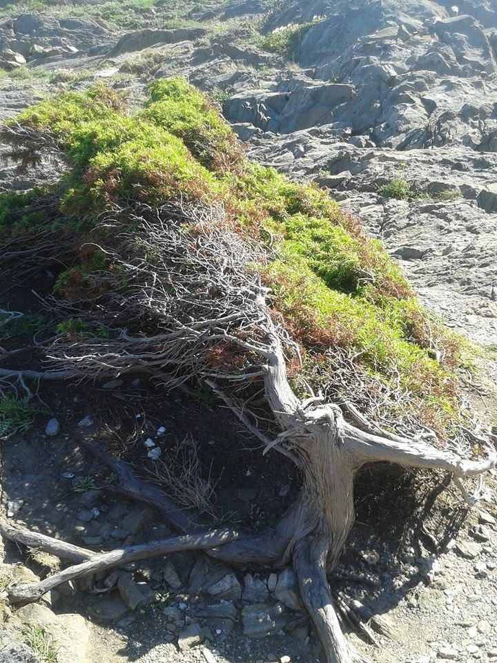 El viento tuerce las ramas del árbol en Cap de Creus (Cadaqués).
